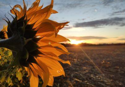 Sonnenblume vor der aufgehenden Sonne